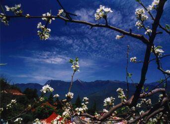 Blüte von Birnen in Lishan