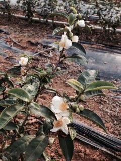 Blühender Hongyu in Mingjian