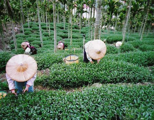Teeernte im Alishan-Gebirge, Jiayi, Taiwan