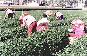 Teeernte in Mingjian