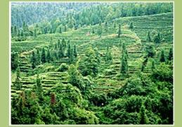 Teegarten in Mengshan