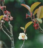 Teeblüte in Simao