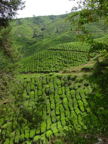 Teegarten Cameron Highlands
