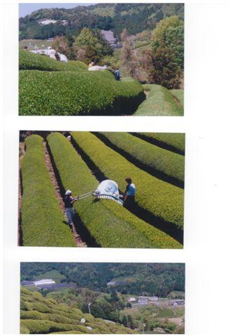 Teeernte im Organic Teegarten Nakai bei Uji