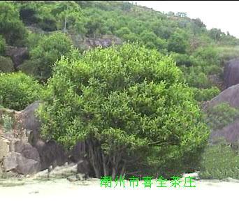 Fenghuang Dancong