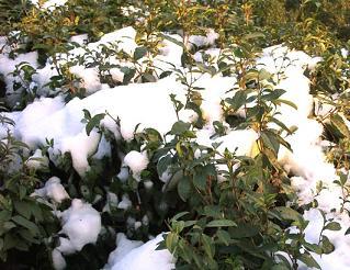Schnee und Longjing