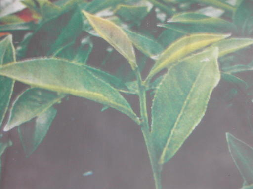 Sijichunpflanzen