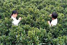 Pflücken von Shuixian Dancong