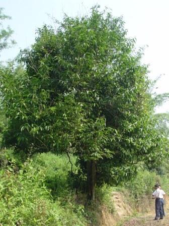 Wie gross ist ein wilder Baum fuer Pu Er