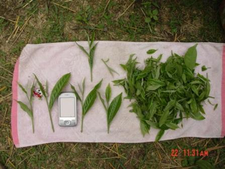 Wie gross ist ein Blatt von einem wilden Teebaum von Pu Er?