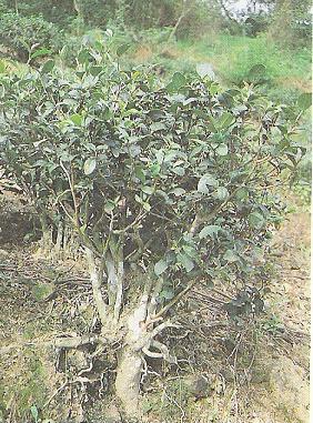 Teebaum vom Meeroolong