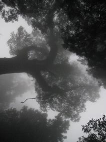 Alishan Bäumen