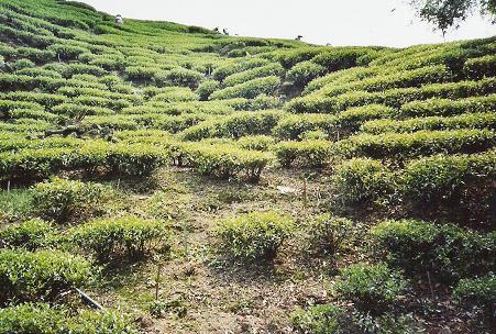 Plantage Alishan