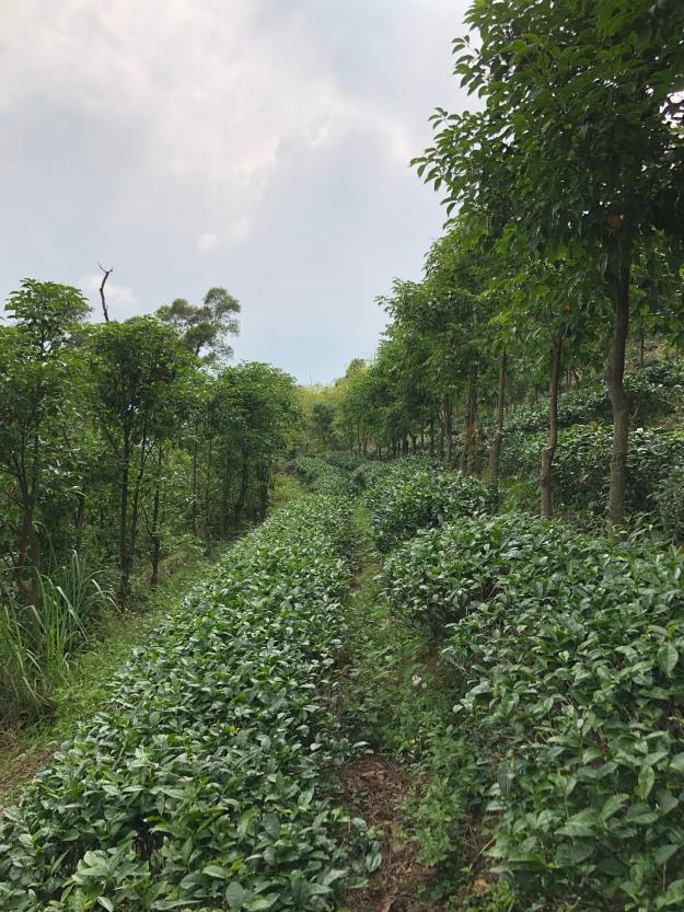 Teepflanzen wachsen zwischen Kampfer Bäumen.