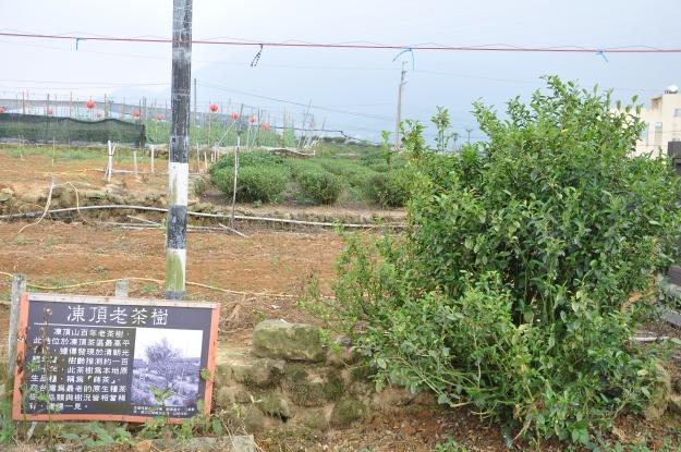 Dongding Gemüse, Tee und 100jähriger Busch